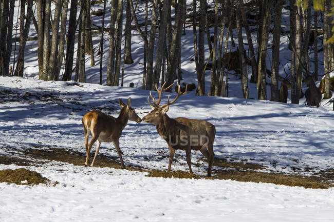 Red stag and doe animals in winter forest — Stock Photo
