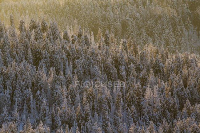 Німеччина, Саксонія-Ангальт, регіоні Harz Національний парк, хвойного лісу у вечірній світло — стокове фото