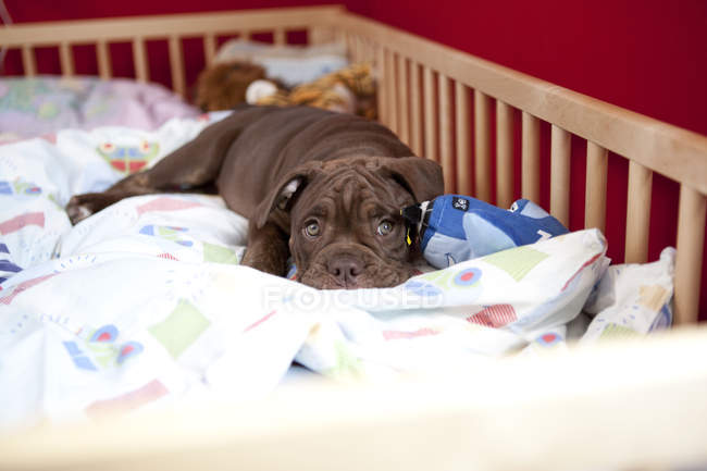 Olde English Bulldogge relaxing in a cot — Stock Photo