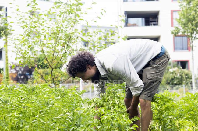 Молодой человек ищет картофельных жуков в городском саду — стоковое фото