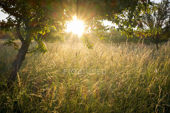 Meadow with grasses and tree in the morning light, Chiemgau, Bavaria, Germany — Stock Photo
