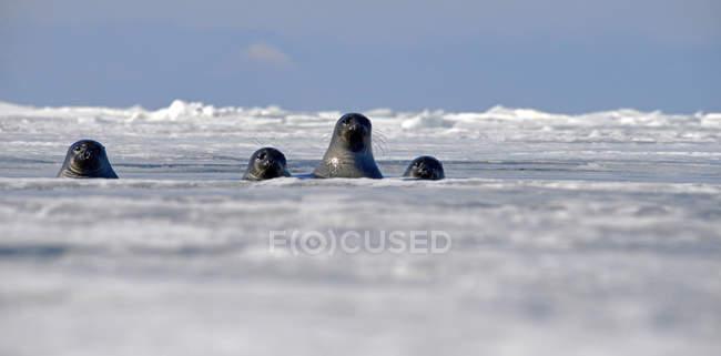 Sigilli di Baikal che guardano fuori dal buco del ghiaccio, Lago Baikal, Russia — Foto stock