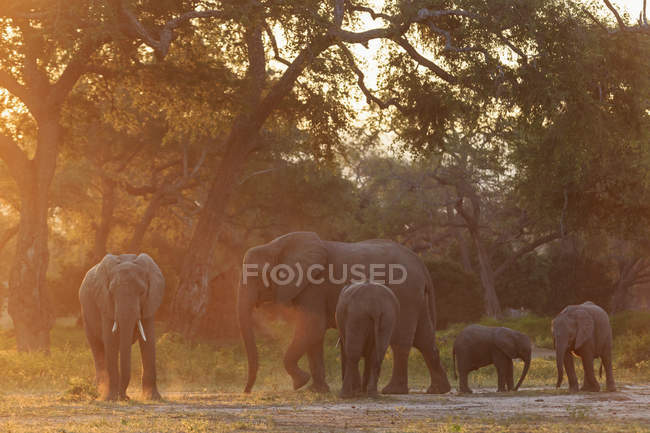 Africa, Zimbabwe, Mana Pools National Park, branco di elefanti che camminano con i vitelli — Foto stock
