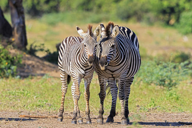 Zimbabwe, Urungwe District, Mana Pools National Park, due burchells zebras — Foto stock