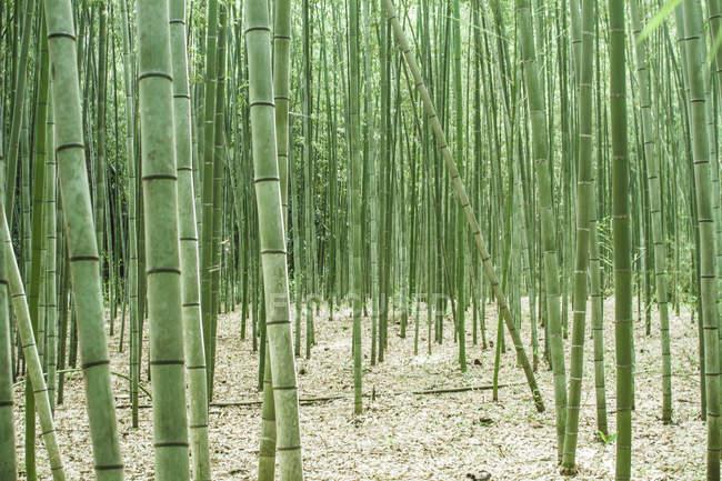 Japon, Arashiyama, forêt de bambous pendant la journée — Photo de stock