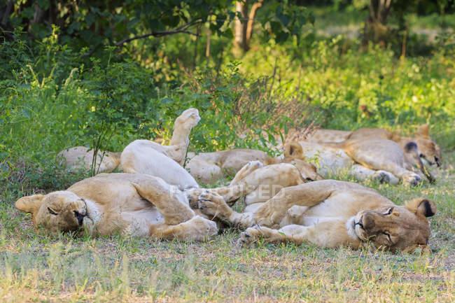 Zimbabwe, groupe Urungwe District, Parc National de Mana Pools, de lions allongé sur le pré vert — Photo de stock