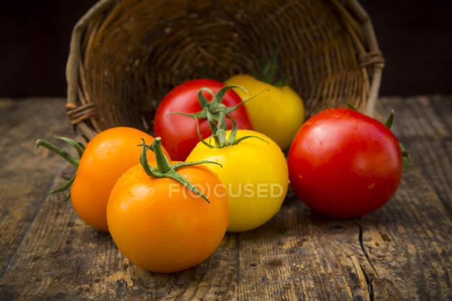 Tomates coloridos y cesta volteada - foto de stock