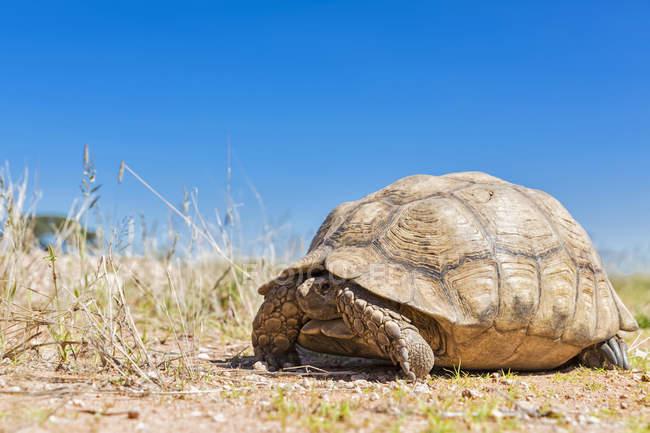Botswana, tartaruga de leopardo de Kalahari, Parque transfronteiriço de Kgalagadi, deitado no chão — Fotografia de Stock