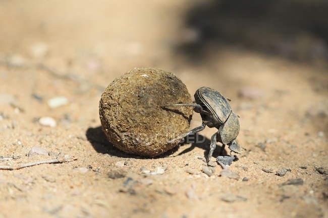 Mistkäfer, Scarabaeus Sacer, mit Kot Ball über Boden — Stockfoto