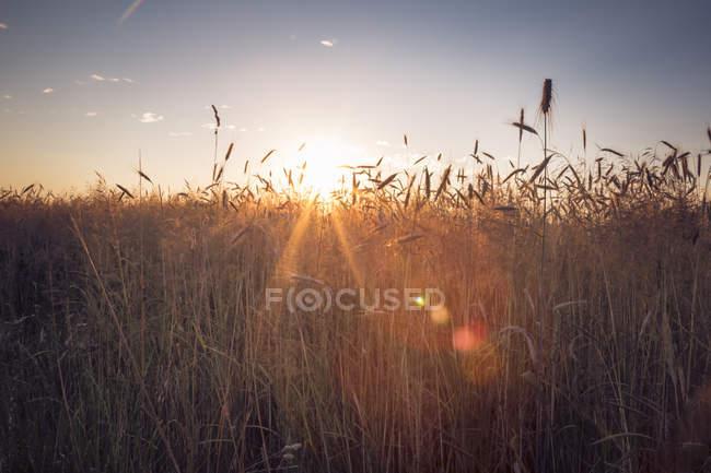 Roggenfeld gegen die Abendsonne — Stockfoto