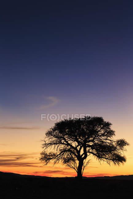 Namibia, Namib Desert, Namib Naukluft National Park, acacia at sunset — Stock Photo