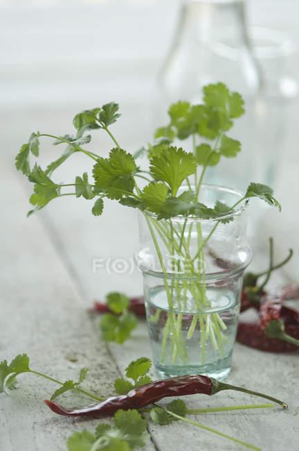 Coentro fresco em vidro e pods de chili seca — Fotografia de Stock