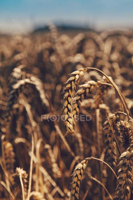 Крупним планом подання шипи пшенична сфера на (літо) — стокове фото