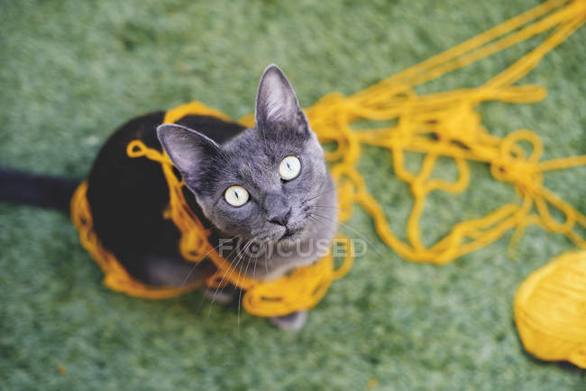 Russian blue tangled in yellow wool looking up to camera — Stock Photo