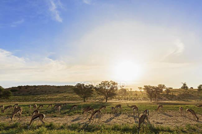 Botswana, Kalahari, Parque transfronteiriço de Kgalagadi, rebanho de impalas em contraluz — Fotografia de Stock