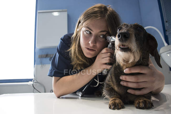 Вивчаючи вуха собаку до ветеринара — стокове фото