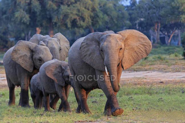 Стадо слонов с молодыми животными, Мана Бассейны Национальный парк, Зимбабве, Африка — стоковое фото