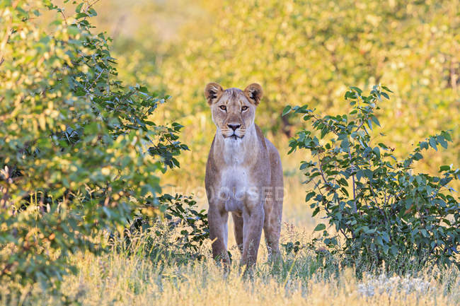 Namibia, Etosha National Park, watching lioness in natural habitat in sunny daylight — Stock Photo