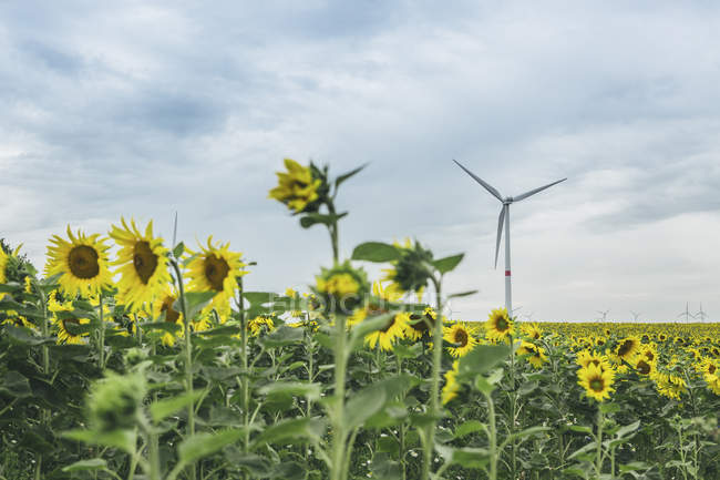 Sunflower field and wind farm  during daytime — Stock Photo
