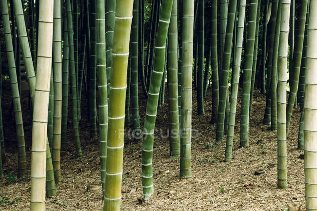 Japan, Arashiyama, bamboo forest during daytime — Stock Photo