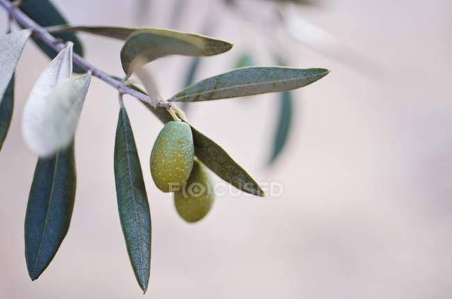 Green olives on tree on blurred background — Stock Photo
