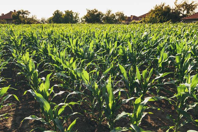 Champ de maïs et d'arbres sur fond pendant la journée — Photo de stock