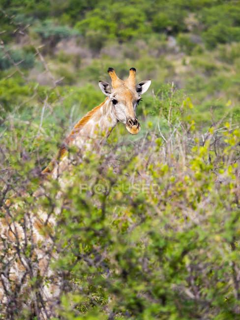 Namibia, Etosha National Park, Giraffe, Giraffa camelopardalis standing between camel thorn trees — Stock Photo