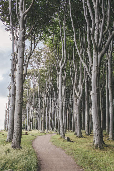 Alemanha, Nienhagen, caminho a pé através de Gespensterwald durante o dia — Fotografia de Stock
