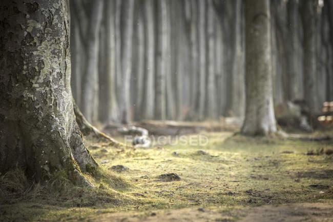 Germany, Nienhagen, tree trunk at Gespensterwald — Stock Photo
