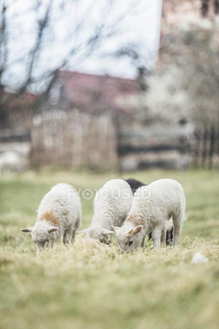 Троє молодих випасу овець сільськогосподарський регіон — стокове фото