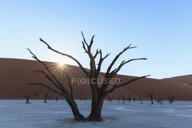 Namibia, Namib Naukluft, Namib Desert, dead acacias on clay pan — Stock Photo