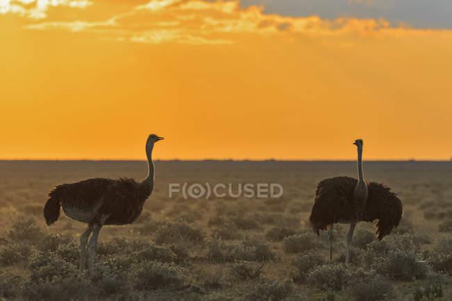 Namibie, parc national d'Etosha, deux autruches africaines au coucher du soleil — Photo de stock