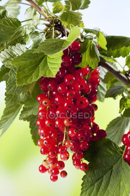 Красная смородина, растущих на завод — стоковое фото