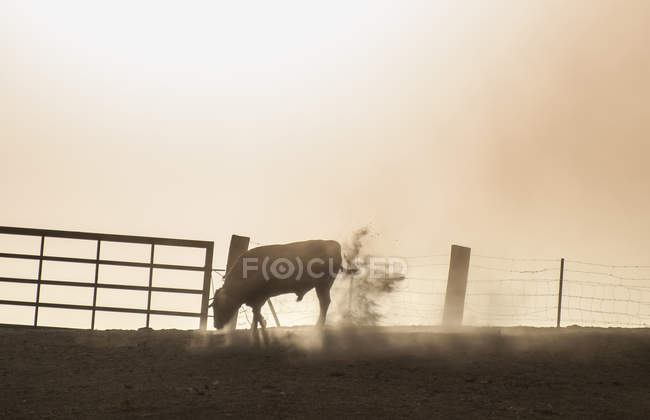 Бик стоячи на пасовищі в підсвічування — стокове фото