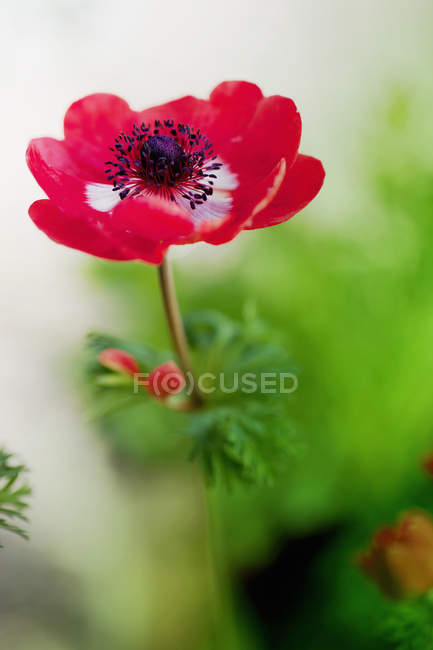 Close-up of red anemone flower in bloom — Stock Photo