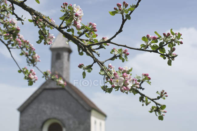 Apple blossom in front of rural church — Stock Photo