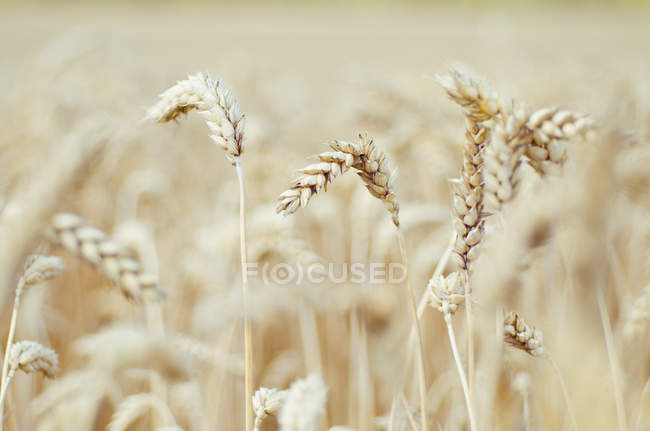 Vista de perto de picos de campo de trigo à luz do dia — Fotografia de Stock