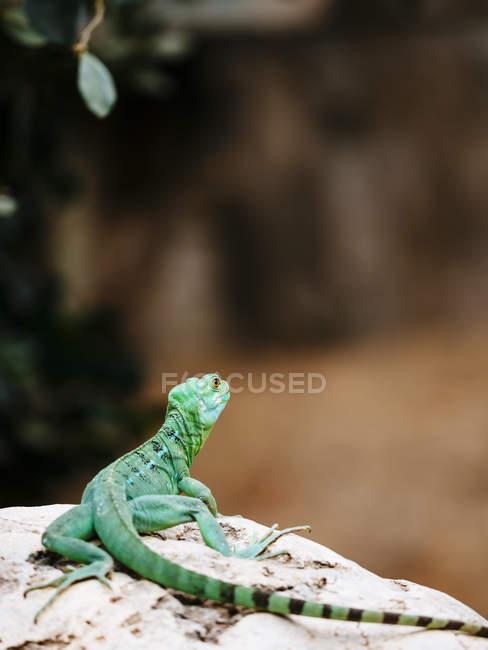 Lagarto verde sobre piedra - foto de stock