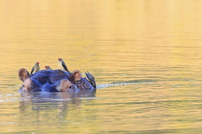 Zimbabwe, district d'Urungwe, parc national des piscines de Mana, hippopotame nageant avec des piqûres de bœuf — Photo de stock