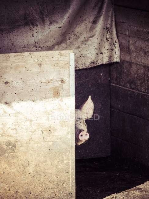 Peeking pig against wooden wall in barn — Stock Photo