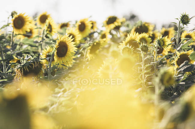 Campo di girasoli con raggi di sole durante il giorno — Foto stock