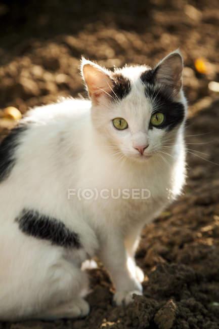 Gatto bianco e nero con gli occhi verdi seduto a terra — Foto stock
