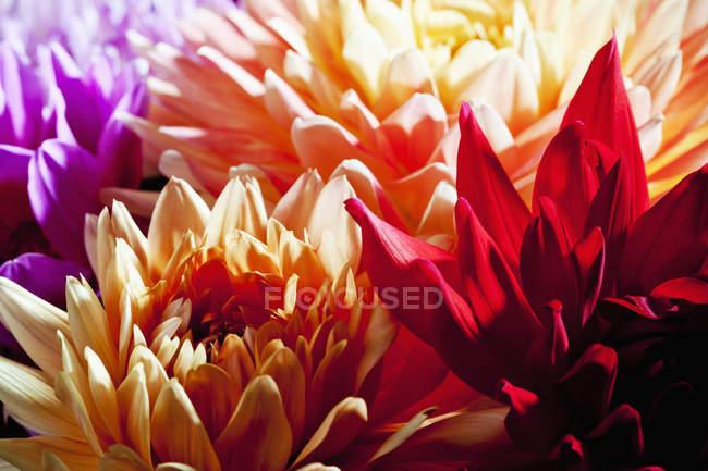 Крупним планом барвисті квіти жоржини, повний кадр — стокове фото