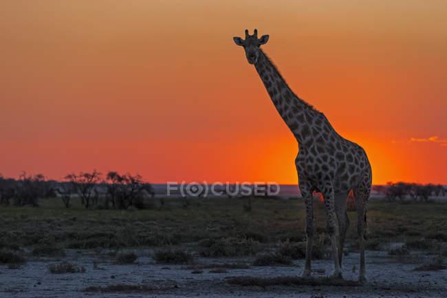 Namibia, Etosha National Park, giraffe at sunset — Stock Photo