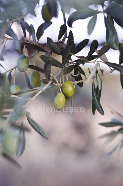 View of green olives on tree during daytime — Stock Photo
