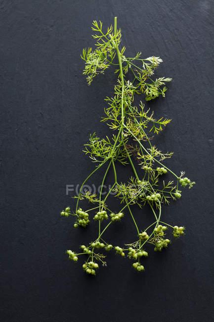 Galho de planta coentro em fundo escuro — Fotografia de Stock