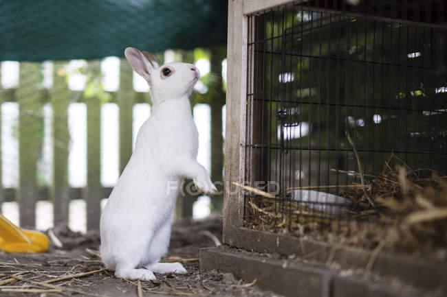 Beautiful cute white rabbit beside cage — Stock Photo
