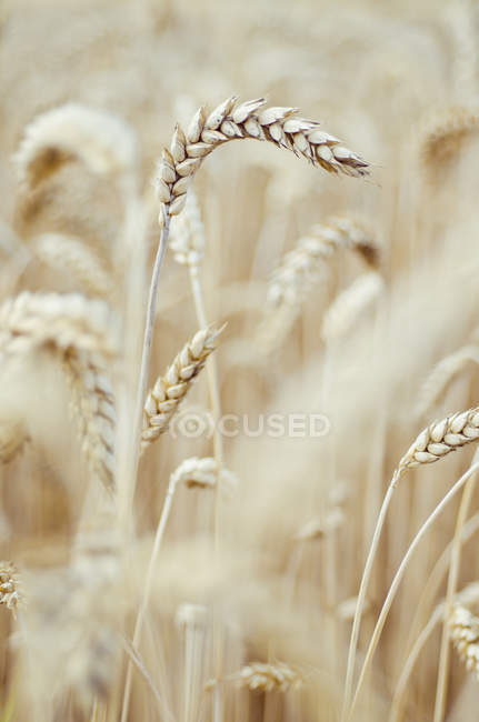 Closeup view of spikes of wheat field at daylight — Stock Photo
