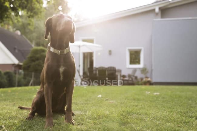 Германия, Эггерсдорф, собака сидит на газоне в саду — стоковое фото