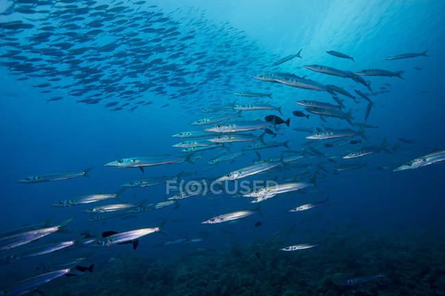 Рыба школа Хеллер Барракуда Палау, — стоковое фото